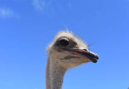 Beautiful Ostrich Head Poking Out
