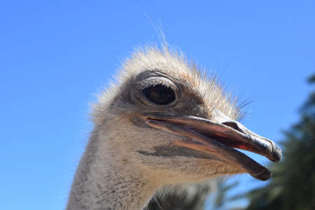 Adorable Ostrich in Extreme Close Up