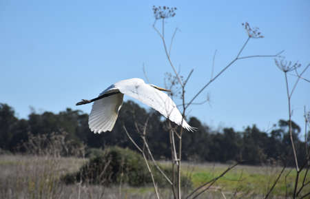 Fantastic great egret flying over a field in California.