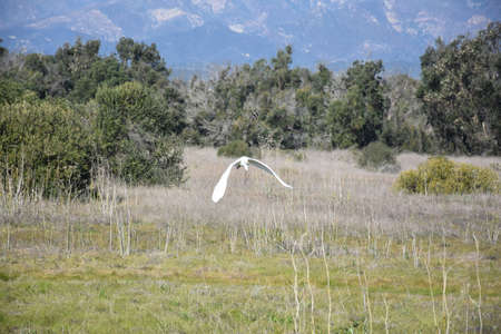 Stunning great egret bird flying over a large field.