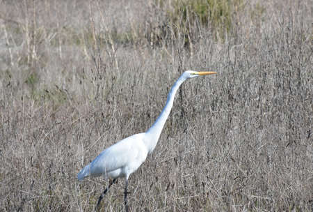 Large great white egret in a hay field.