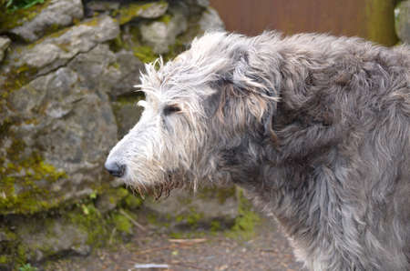 Beautiful side profile of an Irish Wolfhound dog outside a castle in Ireland. Stock Photo