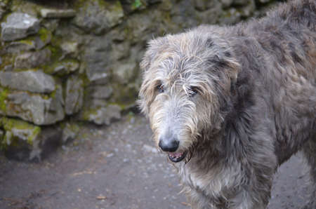 Scruffy grey Irish wolfhound standing outside a castle in Ireland.