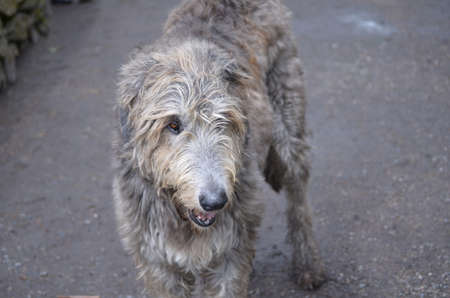Beautiful gray Irish Wolfhound dog with scruffy fur.
