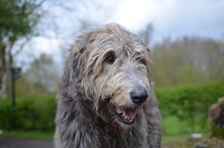 Really sweet faced Irish wolfhound dog with his pink tongue peaking out. Stock Photo