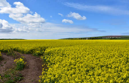 Dirt trail carving through a field of blooming yellow rape seed flowers.
