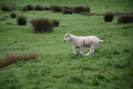 Beautiful lamb running on the moors in Northern England.