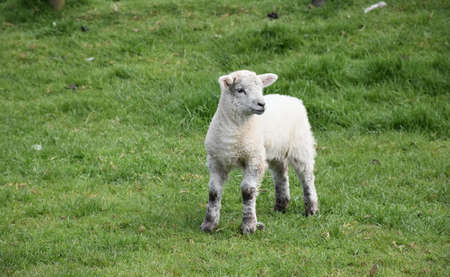 Adorable young lamb standing in a grass pasture. Standard-Bild