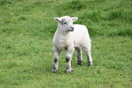 Springtime with a white Easter lamb in a field.