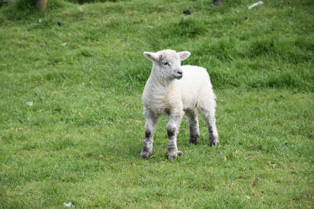 Easter lamb in the springtime in England.