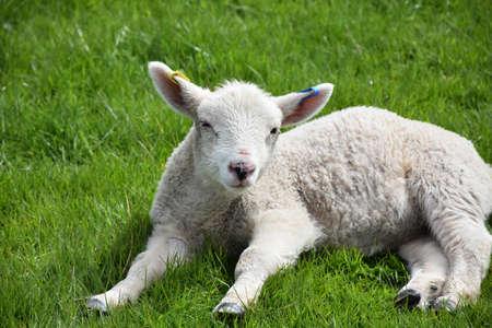 Cute dozing lamb in a field in the springtime. Standard-Bild