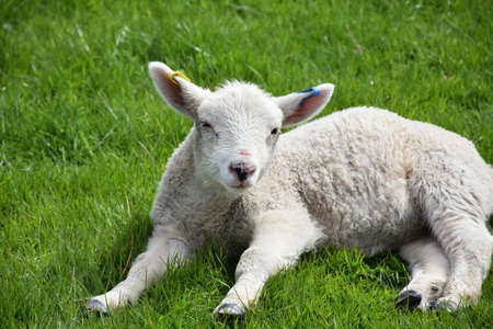 Cute dozing lamb in a field in the springtime. Stock Photo