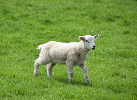 Frolicking white lamb in a thick green grass field in England.
