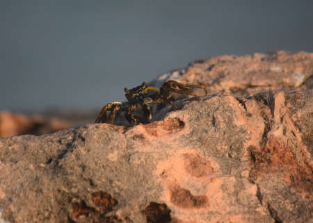 Sea crab creeping along the ridge of a rock. Banco de Imagens