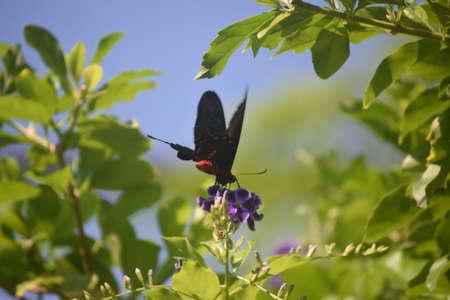 Garden with a scarlet mormon butterfly on a purple flower.