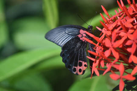 Cluster of red flowers with a scarlet swallowtail butterfly. Stock Photo