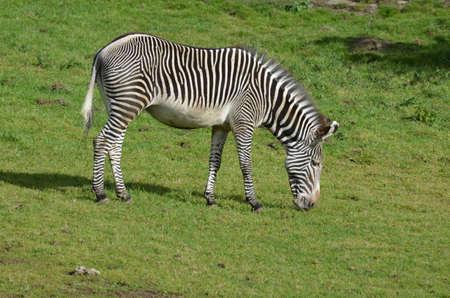 Grazing zebra on a prairie with lots of grass. 版權商用圖片
