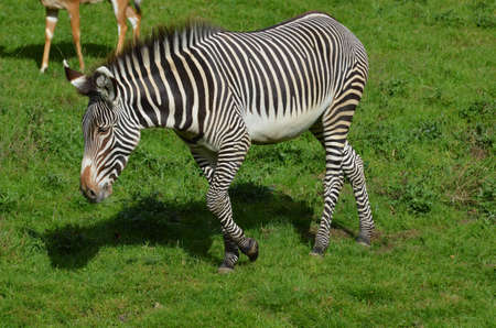 Amazing zebra wandering on a prairie with green grass.