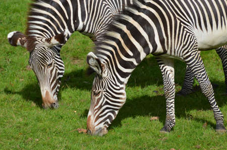 Adorable pair of grazing zebras on a prairie.