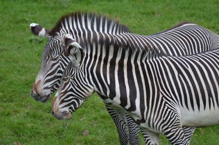 Amazing cuddling couple of zebras in a green field. 版權商用圖片 - 143006439