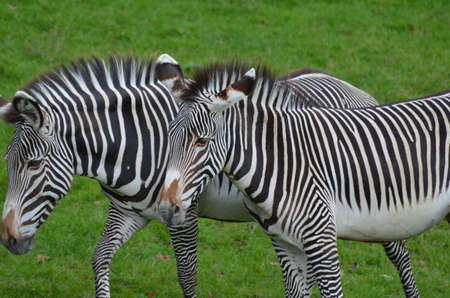 Fantastic ambling pair of zebras walking together in a field.