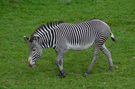 Zebra with bold markings in a large grass field.