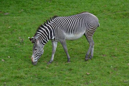 Zebra eating grass in a grassy prairie. 版權商用圖片