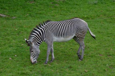 Gorgeous black and white zebra snacking on grass.