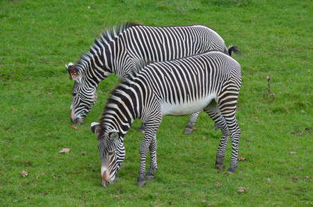 Great pair of grazing zebras eating grass in a field. 版權商用圖片 - 143006446