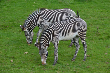 Grazing pair of zebras with brown spots on their noses.