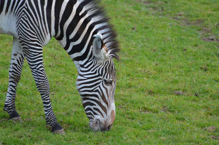 Grazing bold striped zebra in a grass field. 版權商用圖片 - 143006448
