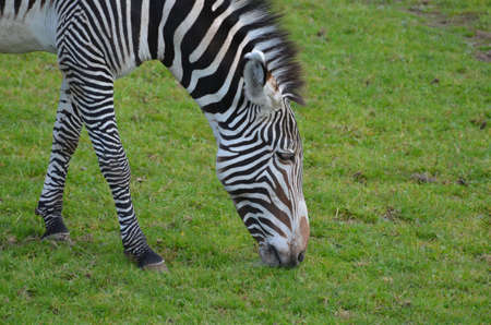 Cute zebra eating grass on a prairie. 版權商用圖片 - 143006472
