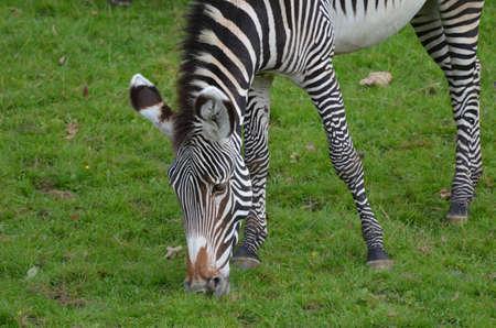 Zebra grazing on lush green grass in a field. 版權商用圖片