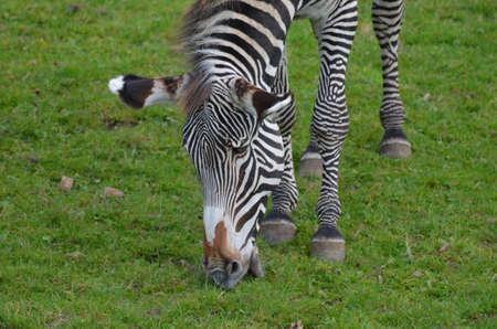 Fantastic face of a zebra grazing on the plains.