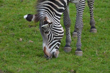 Really cute face of a grazing zebra in a field.