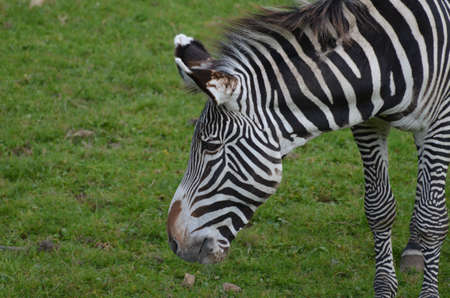 Profile of a zebra with great black and white stripes.