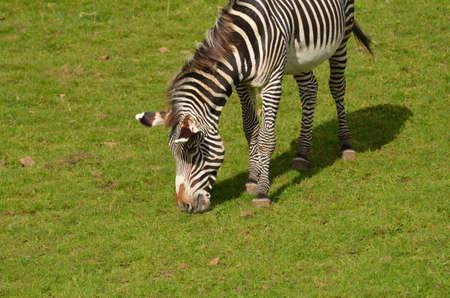 Cute zebra eating grass while on a prairie. 版權商用圖片