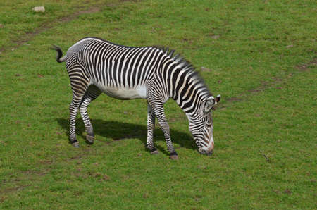 Striped zebra switching his tail on a plain.