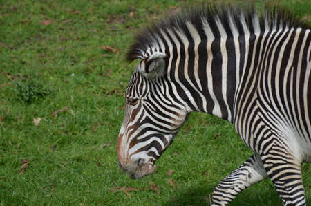 Roaming zebra on a prairie with his ears pinned.