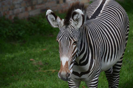 Terrific bold stripes on this zebra standing in a field. 版權商用圖片 - 143006474