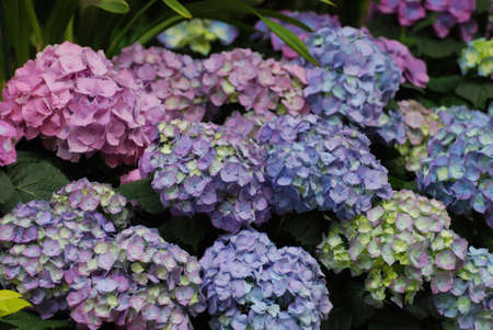 Flowering pastel colored hydrangea clusters in a garden.