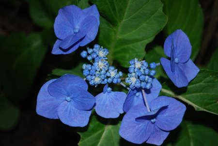 Blooming blue hydrangea flower blossom in a garden. Stock fotó