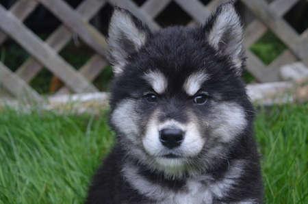 Precious face of an alusky puppy dog. Imagens