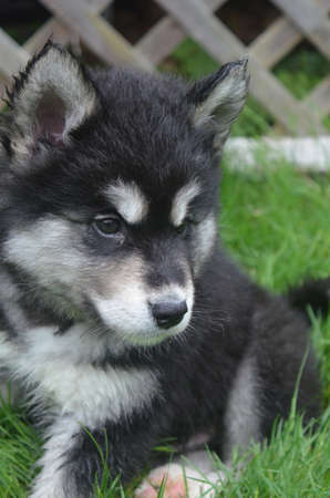 Alusky puppy with distinctive black and white markings on his face.