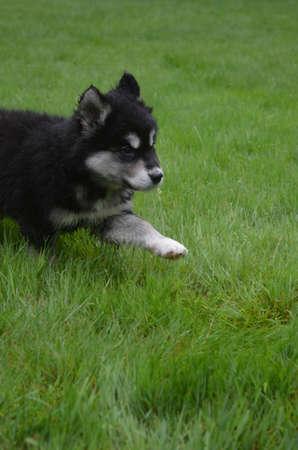 Cute alusky puppy running through thick green grass. Imagens