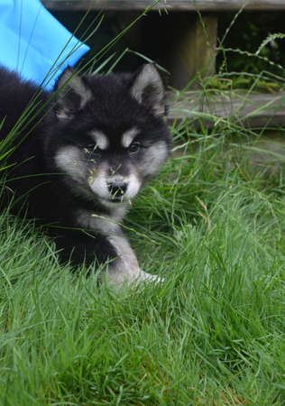 Adorable alusky puppy peaking out in tall grass.