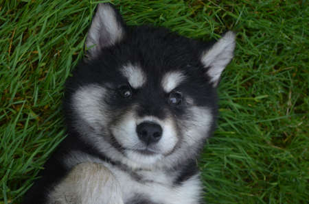Absolutely adorable alusky puppy laying on his back in grass. Фото со стока