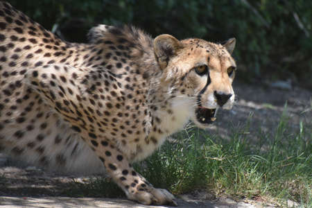 Crouching cheetah snarlking and growling on a rock. Stock Photo