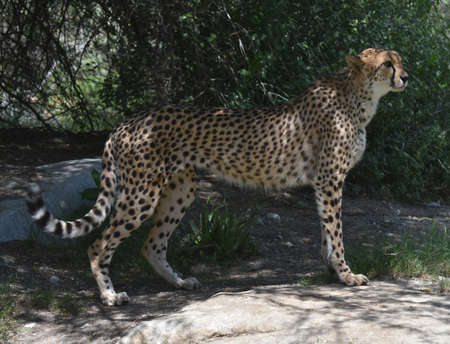 Cheetah standing on a flat rock in a regal pose.