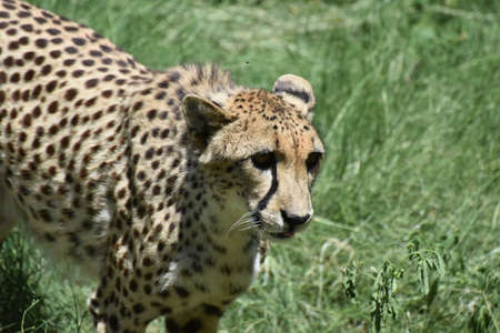 Direct look into the face of a cheetah cat.